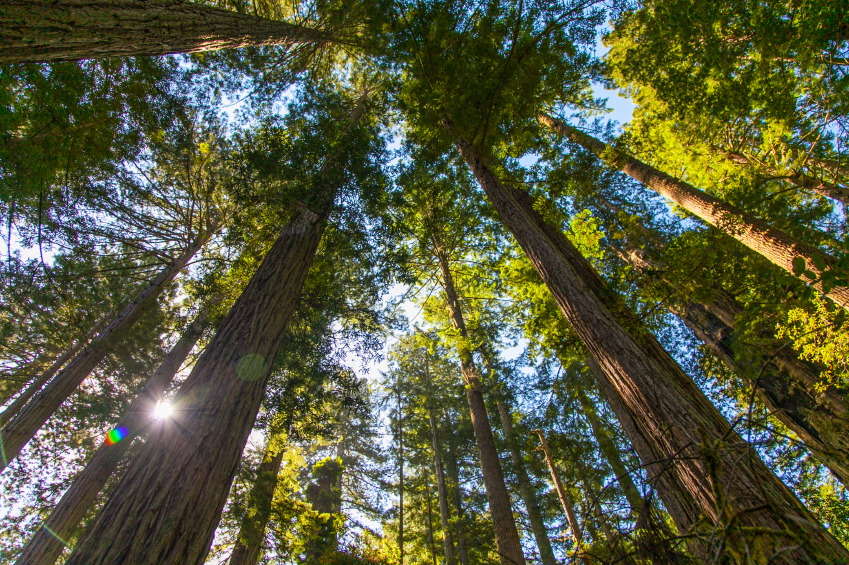 Red woods national park
