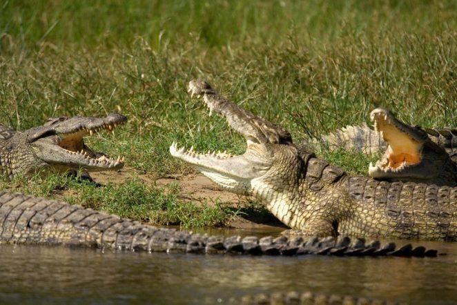 nile crocodiles near water