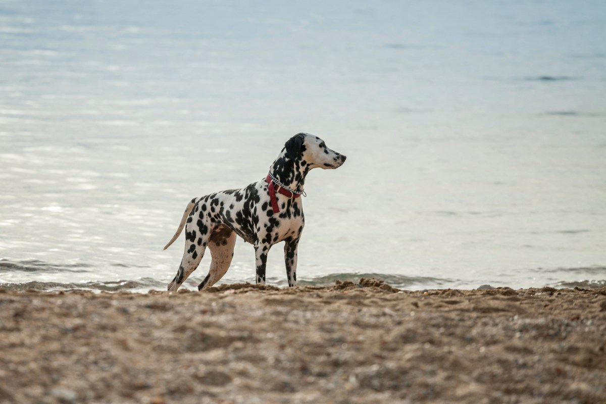 perfect outdoor dog. Dalmatian on the beach