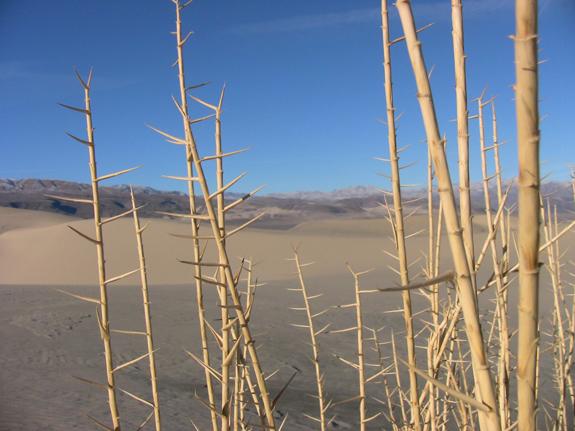 Eureka Dune Grass