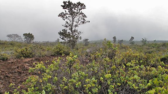 Hawaiian Cloud Forest