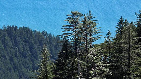 Sugar pine silhouette.