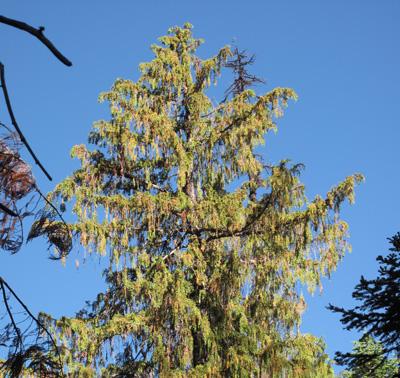 Aldrich Mountains yellow-cedar