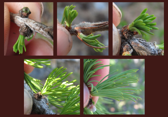 subalpine larch allocates needles