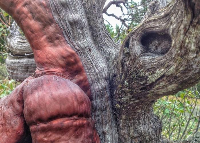 A_manzanita-bark