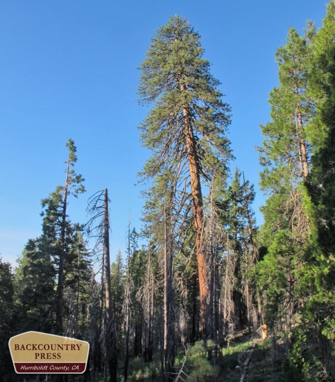 A 170' ponderosa pine with crown-fire-killed white fir and Douglas-fir in the understory.