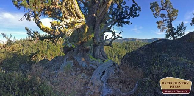 Old-growth western juniper.