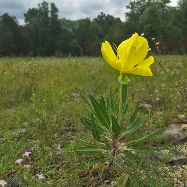 Missouri primrose (Oenothera missouriensis),