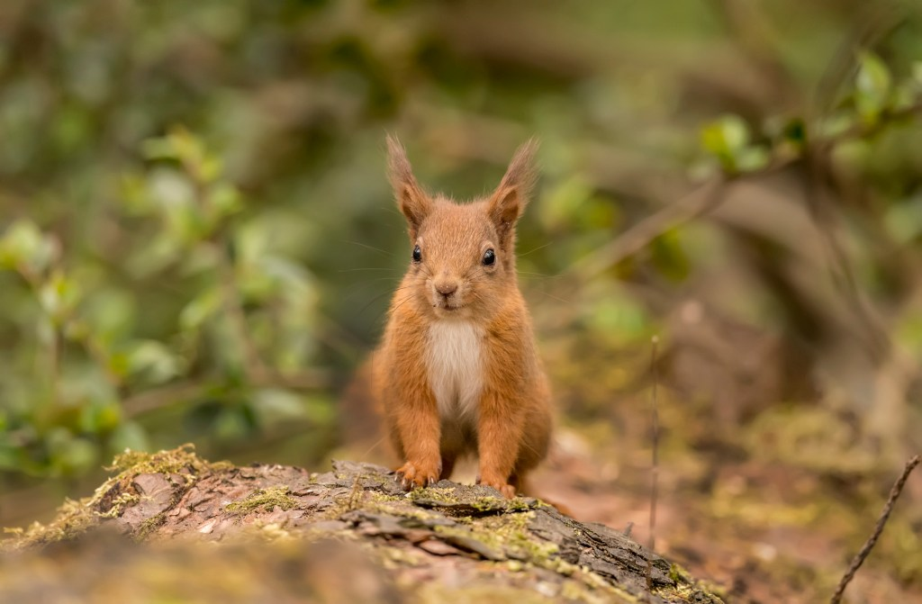 Red squirrel wales