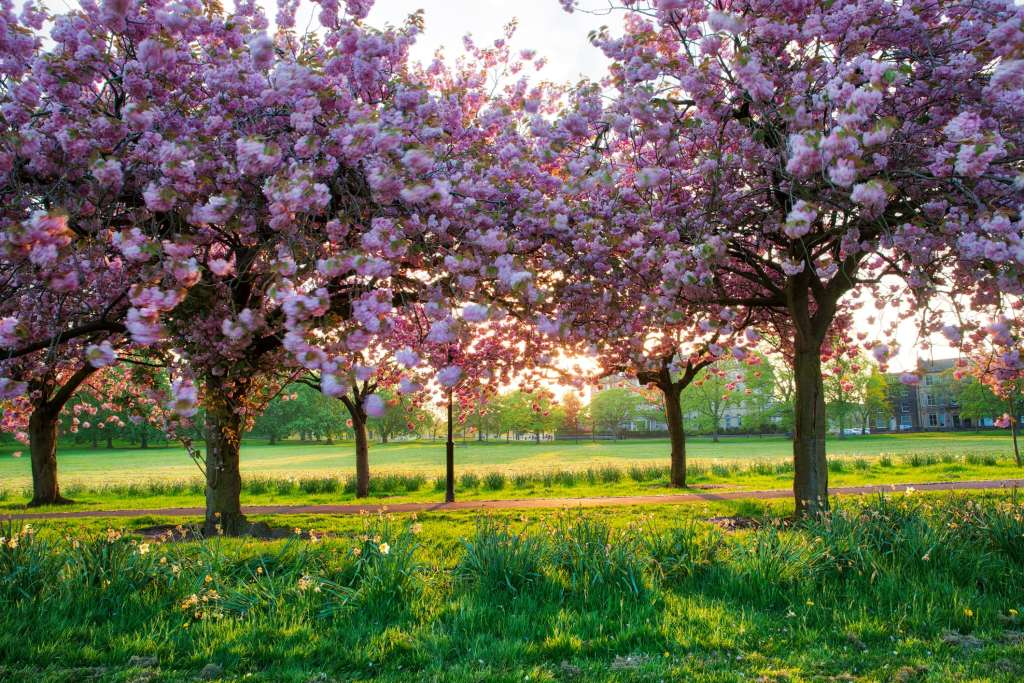 Harrogate stray with blossom