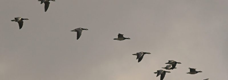 Geese migration licensed through Creative Commons https://commons.wikimedia.org/wiki/File:BrantaLeucopsisMigration.jpg