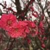 iPhone6 plus のカメラが意外に良かった!神奈川の曽我梅林で梅を撮ってみた