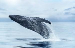 Princess Alaska Cruise Humpback Whale