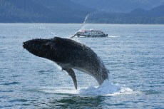 Humpback breaching with tour boat in background