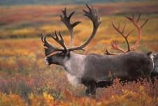 Alaska Wildlife includes various deer species