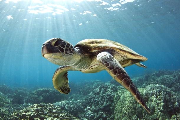Green Sea Turtle Kona