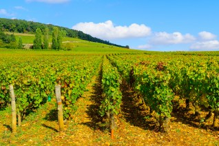 Sunny day in vineyard at Cote Dor, Burgundy