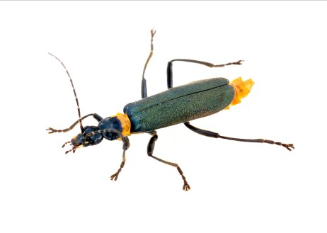 Image of a Plague Soldier Beetle