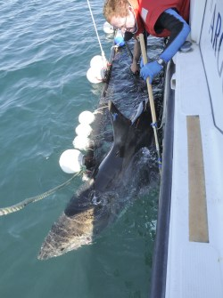 One of many white sharks being fitted with acoustic and satellite tracking tags. Image: Justin Gilligan, NSW DPI
