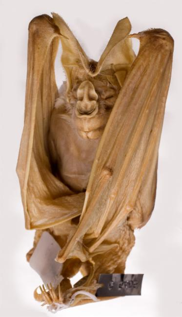 The ghost bat is rather haunting to look at. Image credit: Museum Victoria