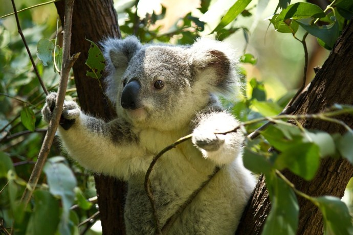 Teaching old koalas new tricks (and other interesting koala facts)