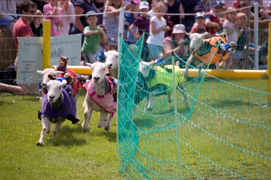 sheep running in a race