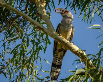 A channel-billed cuckoo eating a berry