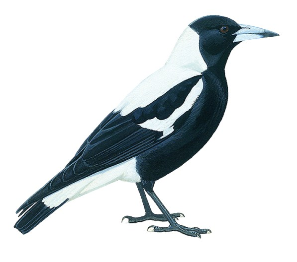 A drawing of The male white backed magpie
