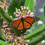 How you can help save the monarch butterfly