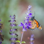 Enjoy the annual monarch migration while playing a meaningful role in their grueling journey