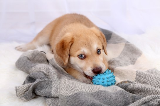 Cute beige puppy playing on white carpet, on light background