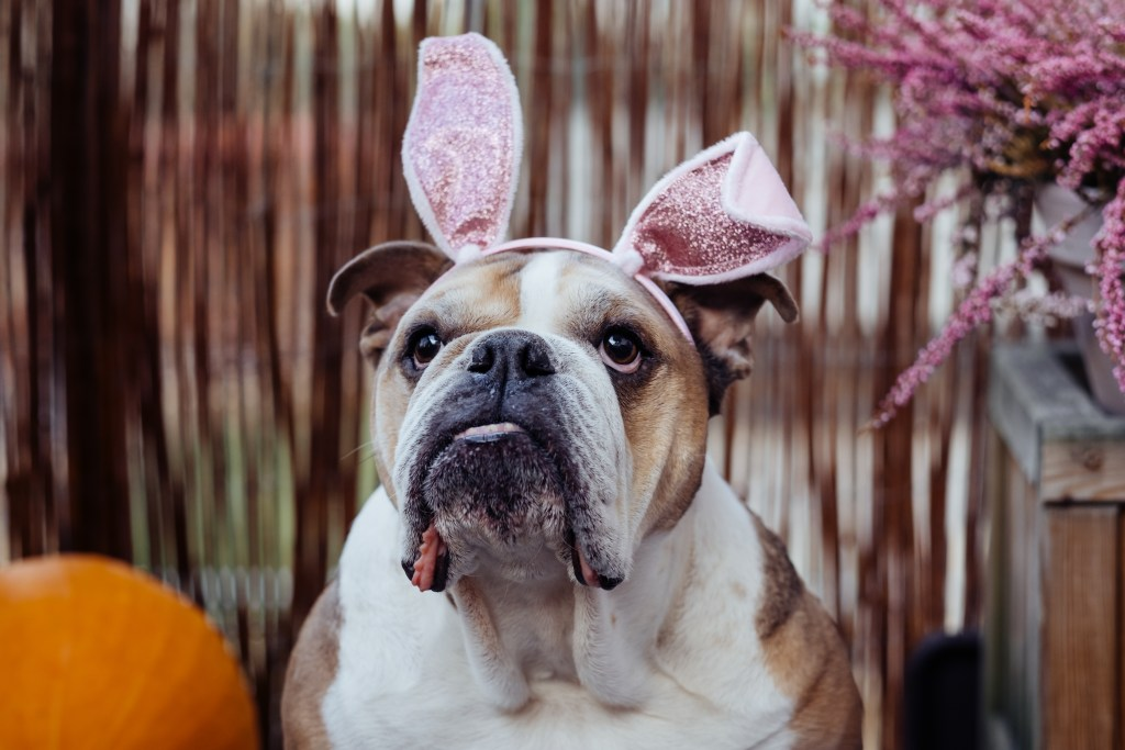 dog with pink bunny ears