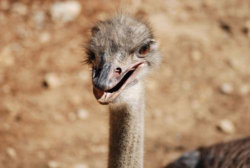 zoo-montpellier-autruche.jpg