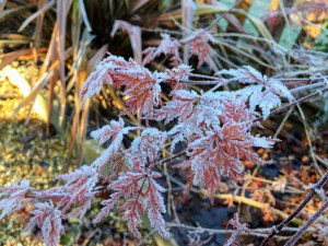 frost on red acer leaves with the sun shining behind them