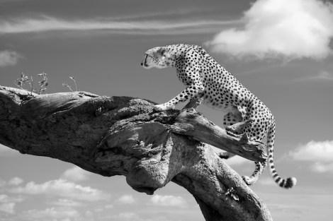 Cheetah on log