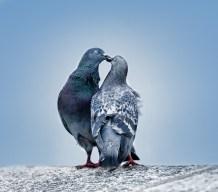 bisous-de-pigeon