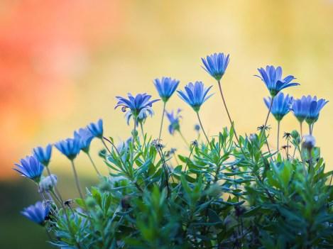 fleurs-hasselblad