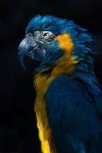 grand-ara-bleu
