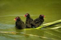 trois-petites-poules-d-eau-900