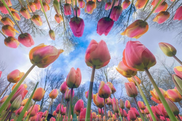 Holland, Keukenhof, Tulip double Exposure!