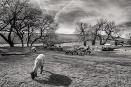 Sheep farm, Palouse