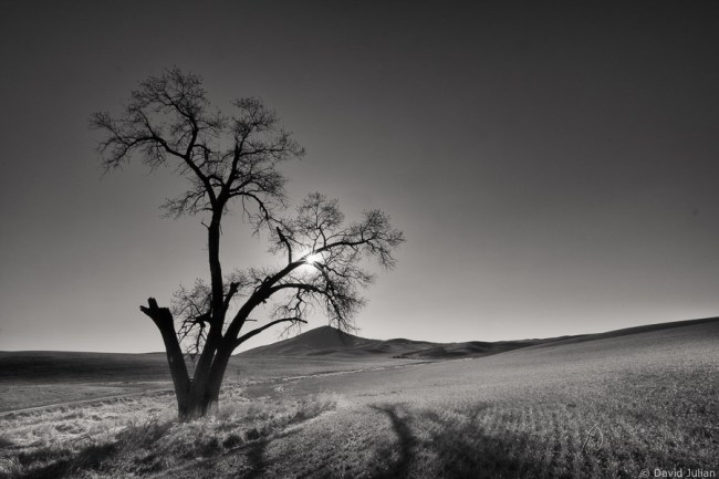 Palouse_Split_Tree
