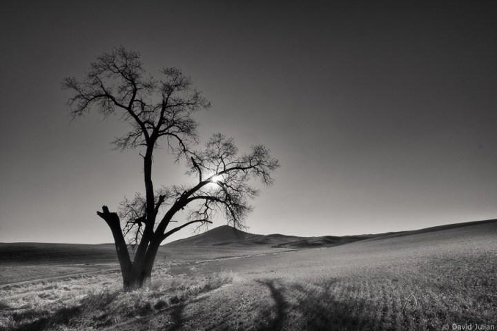 Palouse_Split_Tree