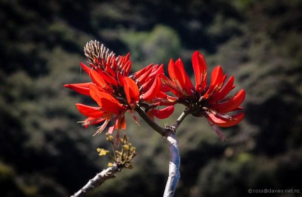 Coastal coral tree flower Rangihoua Heritage Park
