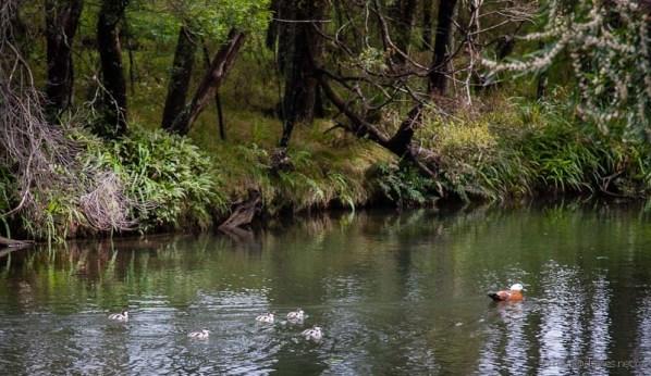 Paradise duck and ducklings Kerikeri