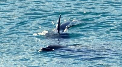 Dolphin Elaine Bay