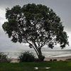 Kuaotunu tree