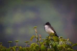 King Bird