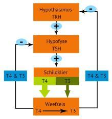 T4-T3 feedback loop