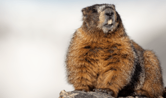 In honor of Groundhog Day, we wanted to take a close look at the oral health and teeth of groundhogs. Groundhogs, also called woodchucks, whistle-pigs or land beavers, are rodents belonging to the group of large ground squirrels called marmots living in the lowland regions of parts of North America